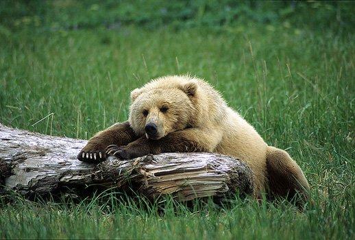 bearnapping.jpg