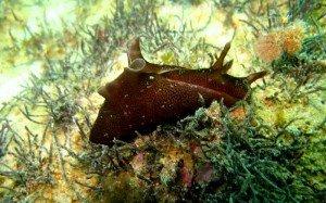Aplysia-punctata-Livre-de-mer-300x187